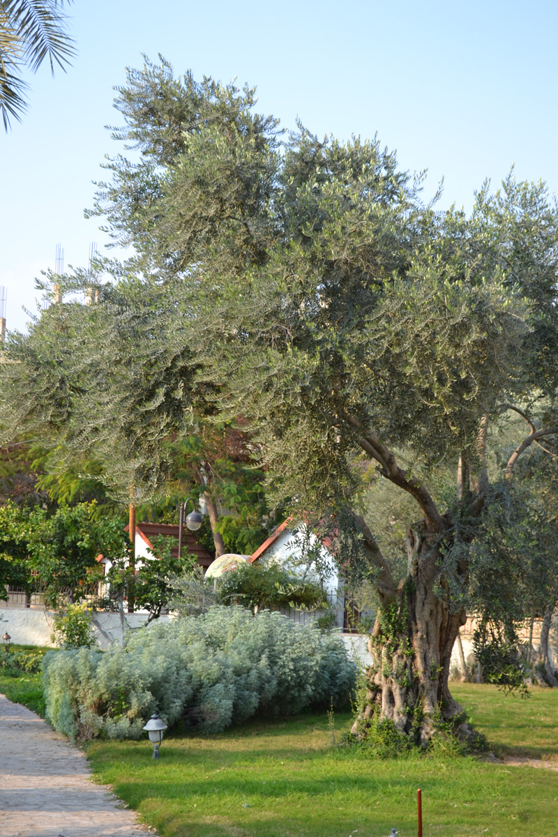 hundreds of years old olive tree