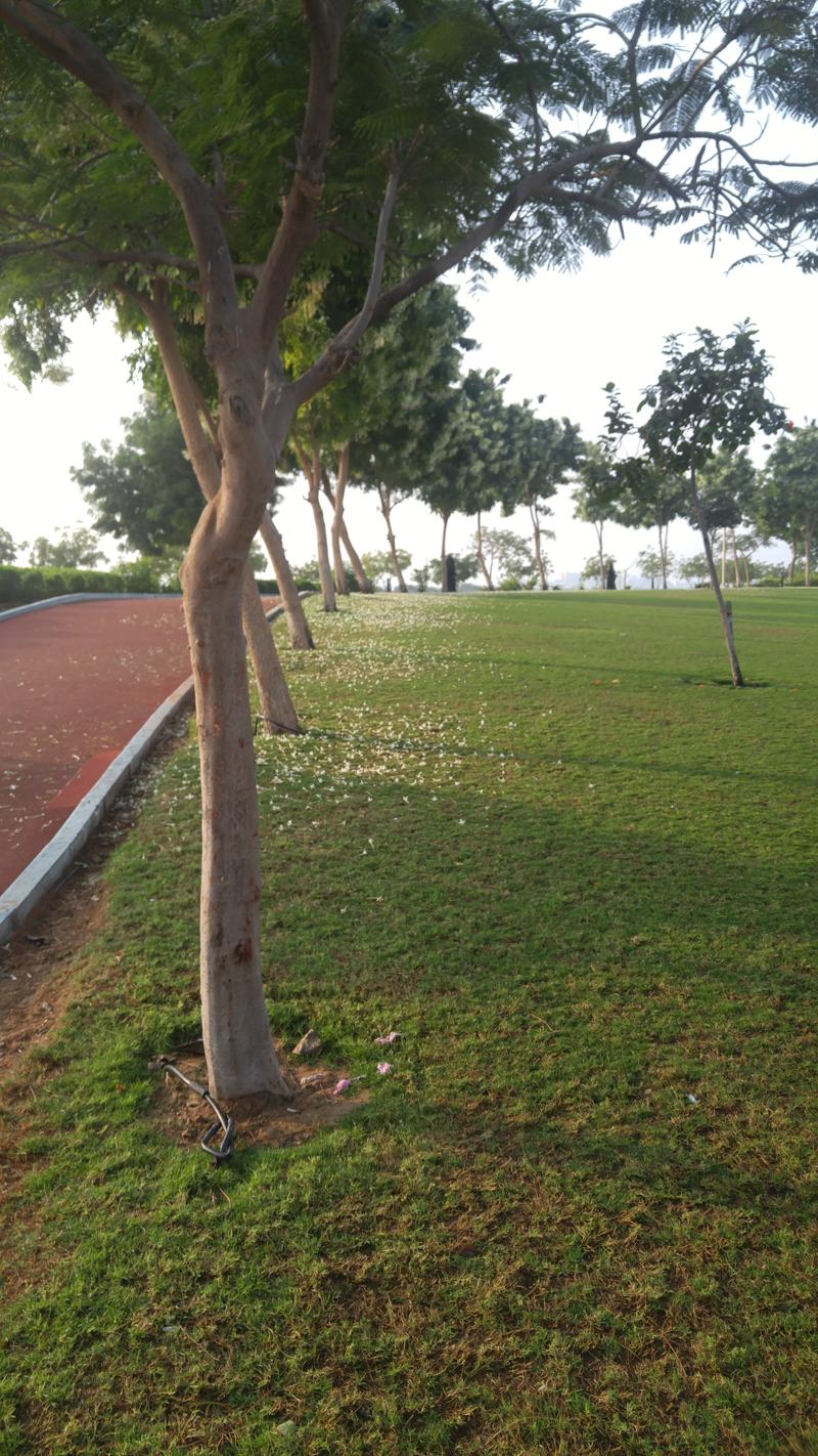 Jasmin trees.jpg